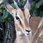 Male impala rooibok.