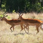 Impalas in the national park.