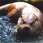 An otter.