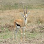 The Thomson's gazelle is named after explorer Joseph Thomson.