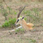 Thompson's gazelle.
