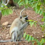 The vervet monkey, or simply vervet.