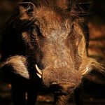 Warthog in the late afternoon sun.