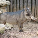 The scientific name of warthog is Phacochoerus Africanus.