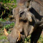 African Warthog.