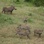 A warthog family.
