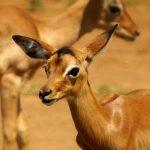Young impalas.