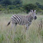 A zebra foal is not black and white at birth