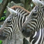 Zebra foals are protected by mothers, head stallion and the other mares