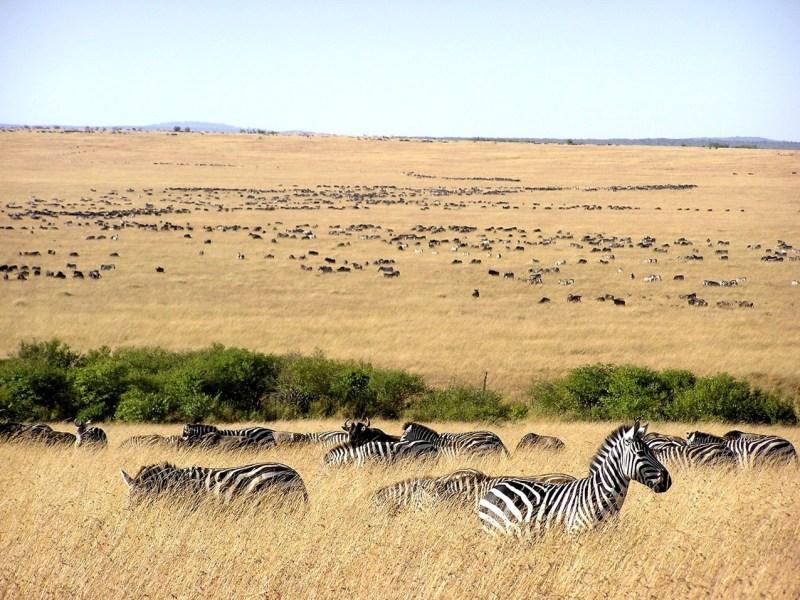 Migration of zebras across the plains