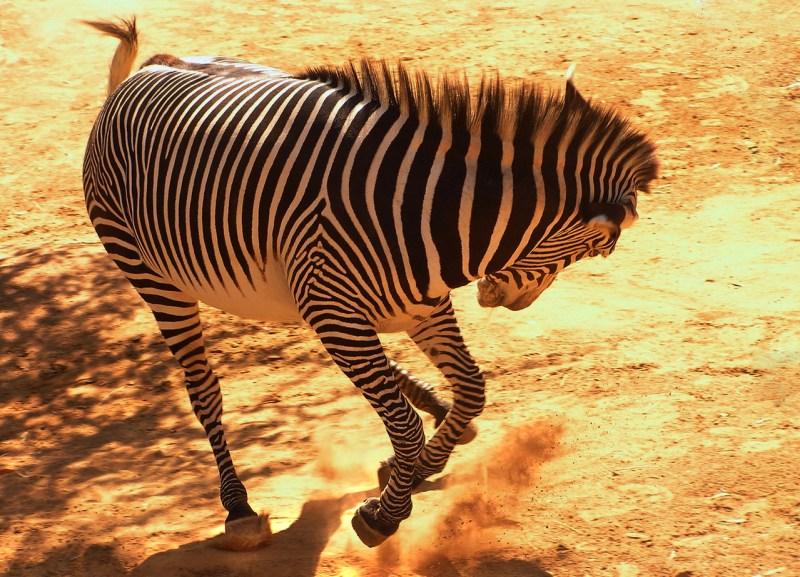 Peculiar dynamics of populations of zebra