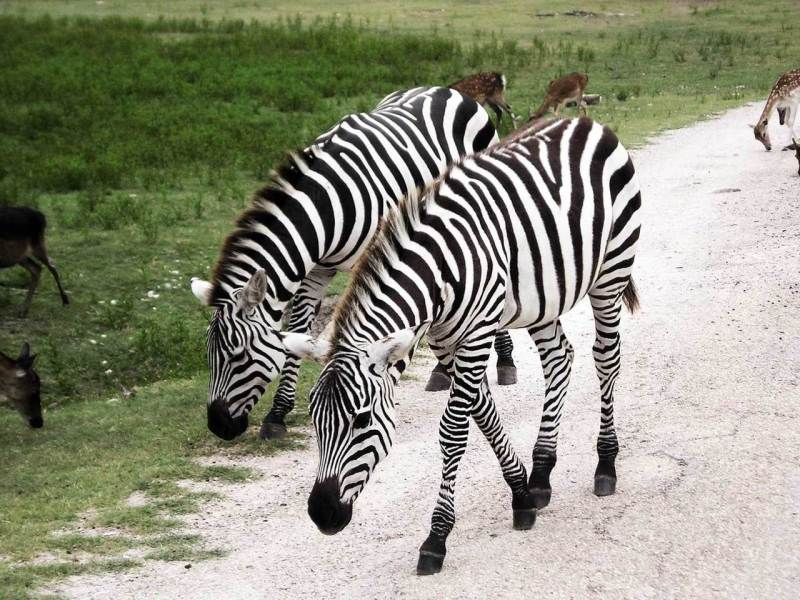Zebra stripes provide coolness and cleanliness