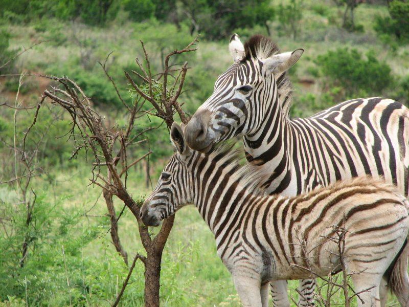 Zebra's vocal calls and facial expressions