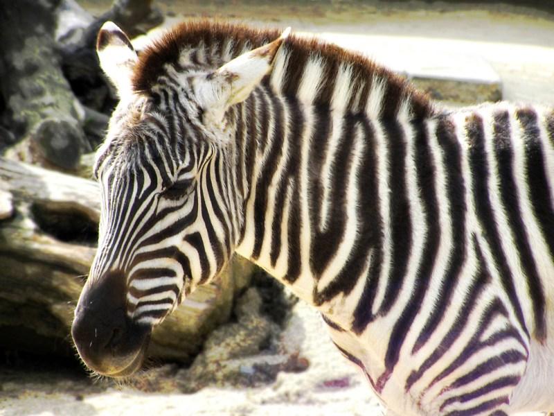 Zebroids are close relative hybrids of zebras