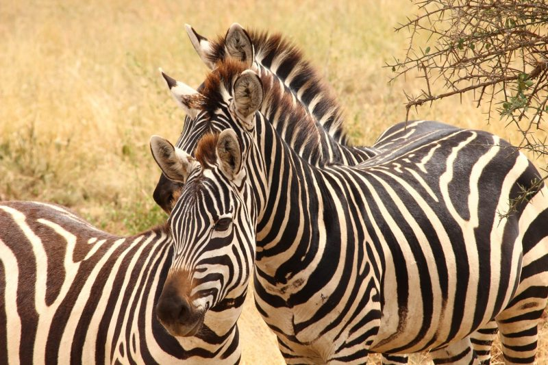 The loss of Grevy's zebras is a sad affair