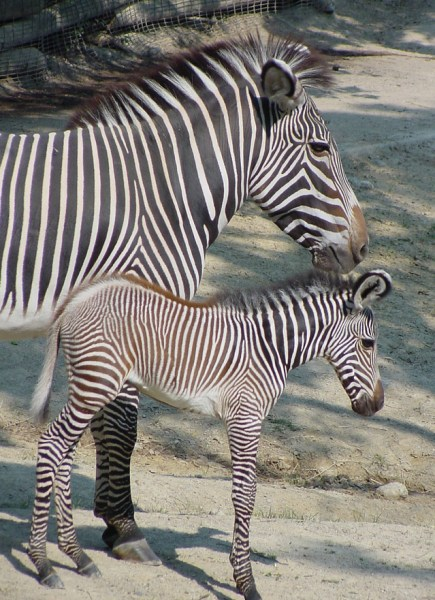 Grevy's zebra in Kenya is numbered