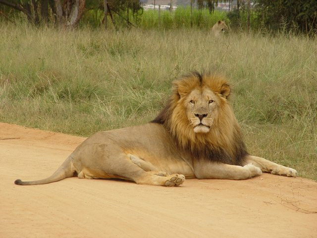 Mane of male lion attracts females - Kenya wildlife safaris