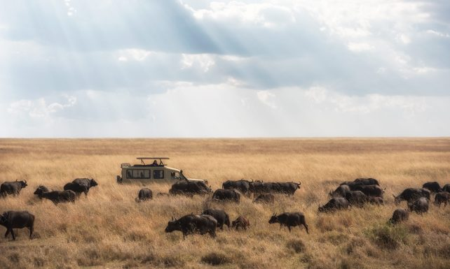 The erosion of the grasslands in Amboseli by circling safari vehicles did extensive damage
