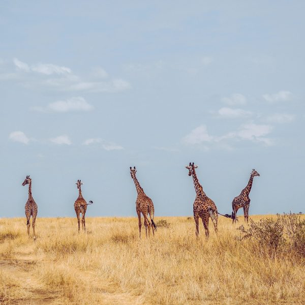 The population of Maasai giraffes has declined by 95% between 1989 and 2003