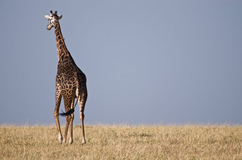 The sturdy, long legs are longer than an average person's height.