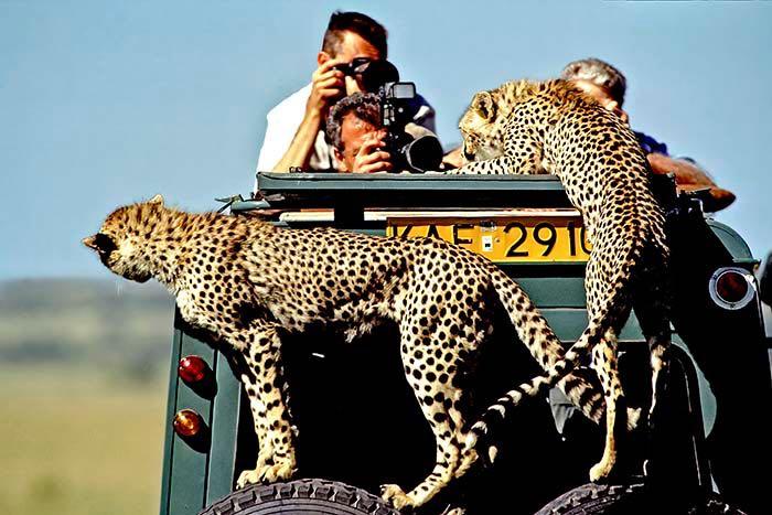 Guépards grimpent sur la voiture. Meilleur appareil photo pour un safari photo