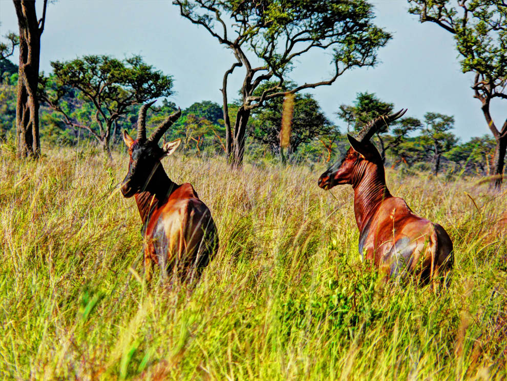 Ruma National Park_Jacksons Hartebeest