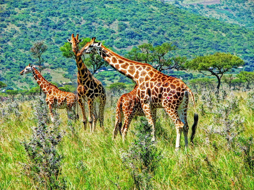 Ruma National Park_Rothschilds giraffe upclose