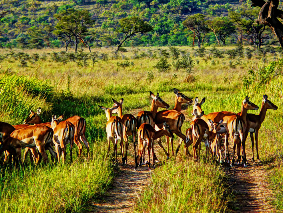 Ruma National Park_impala