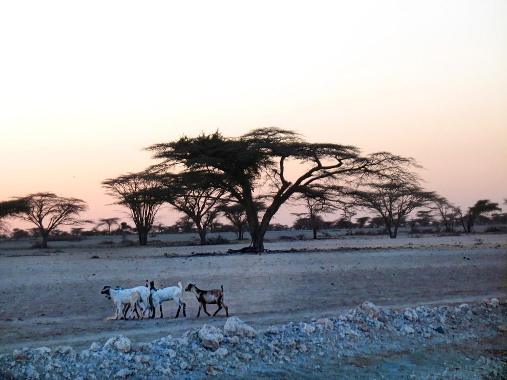 Chalbi Desert_Goats