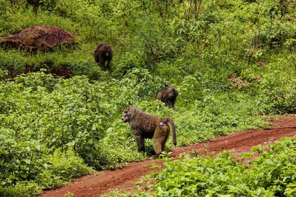Baboons Marsabit N.P. Kenya