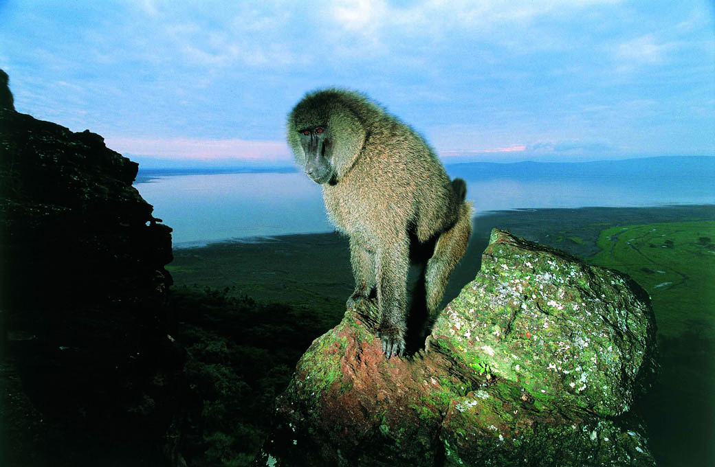 A Baboon perched in the famous Baboon cliff in the Lake Nakuru National Park