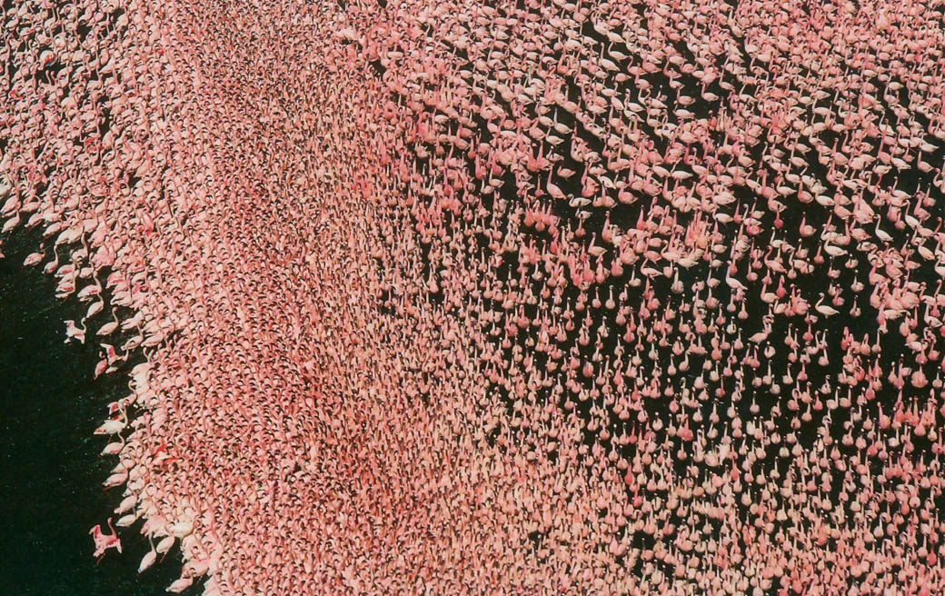 endless pink blanket of feathers that greets you at the Lake Nakuru National Park