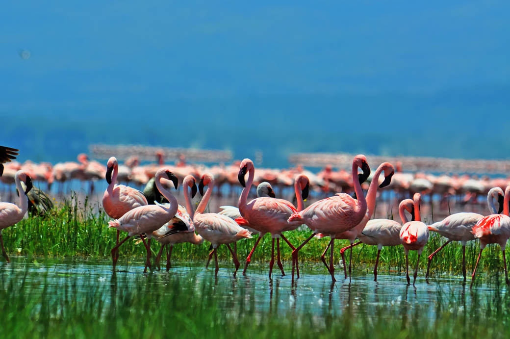 Lake Nakuru National Park_flamingos