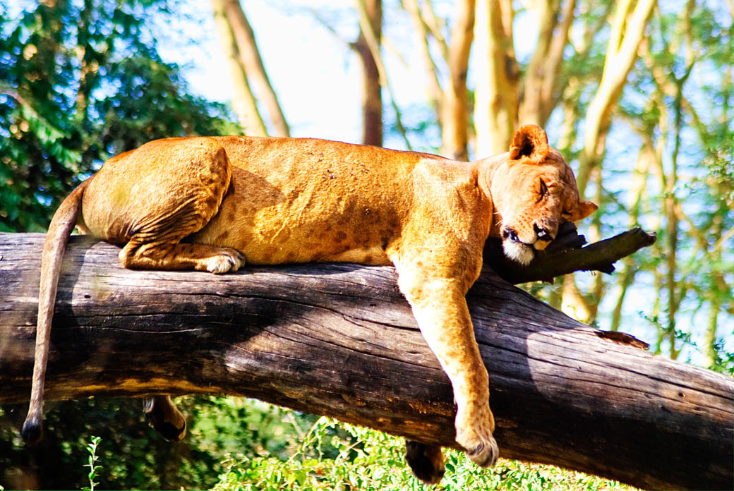 Lioness taking a nap in the Lake Nakuru National Park