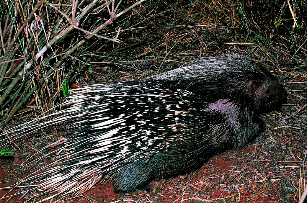 Lake Nakuru National Park_porcupine