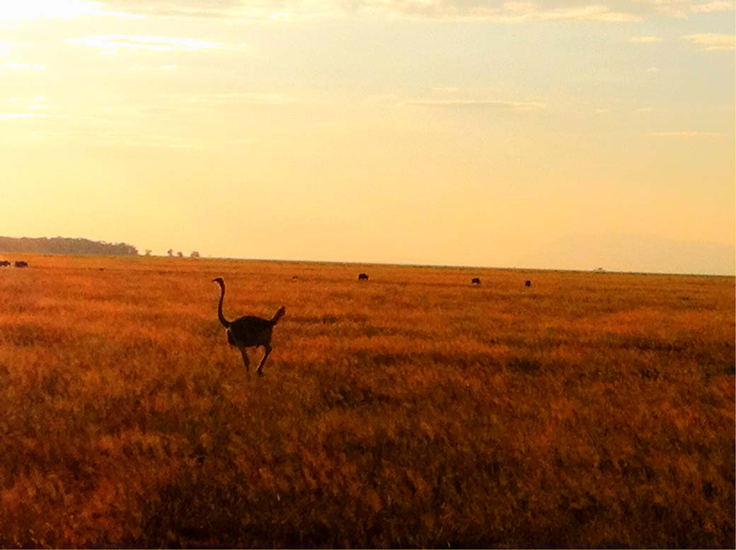 Amboseli National Park_Ostrich2