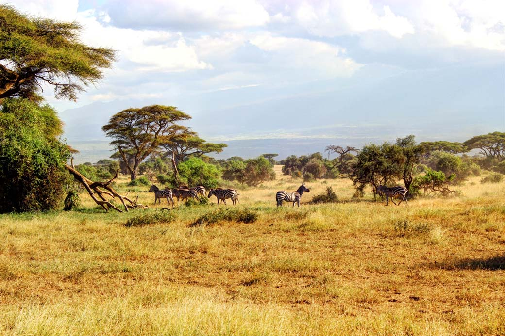 Amboseli National Park_Zebras