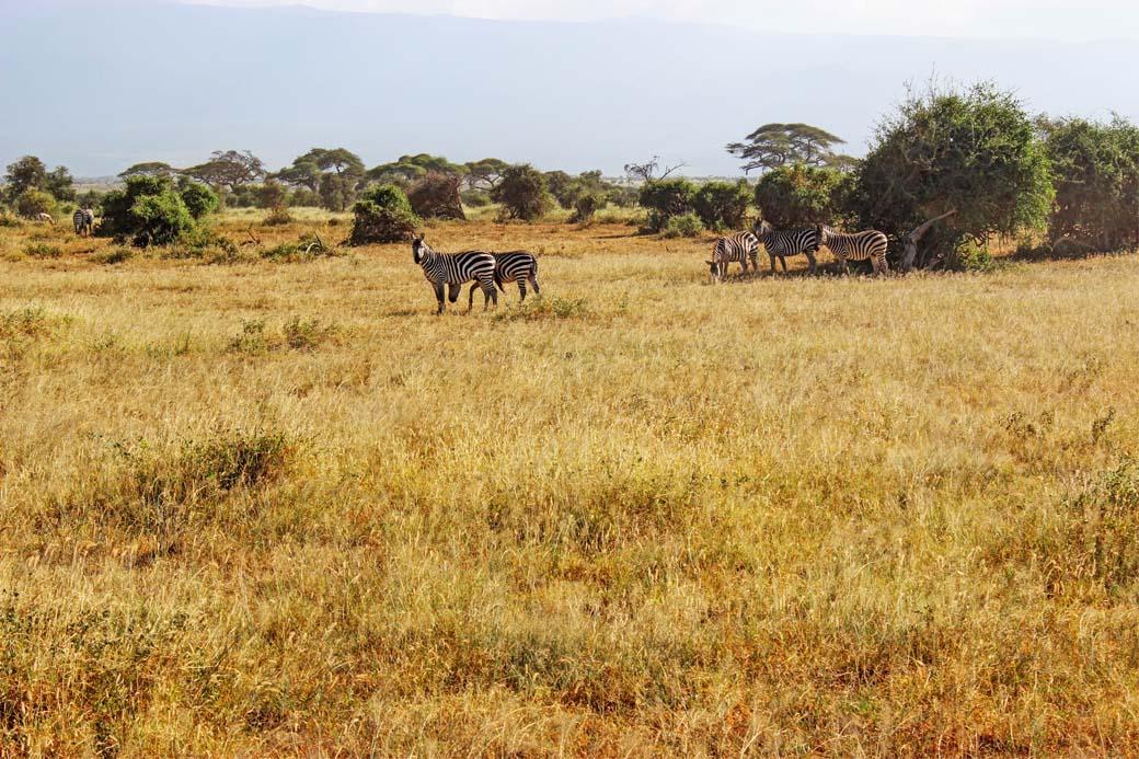 Amboseli National Park_Zebras2