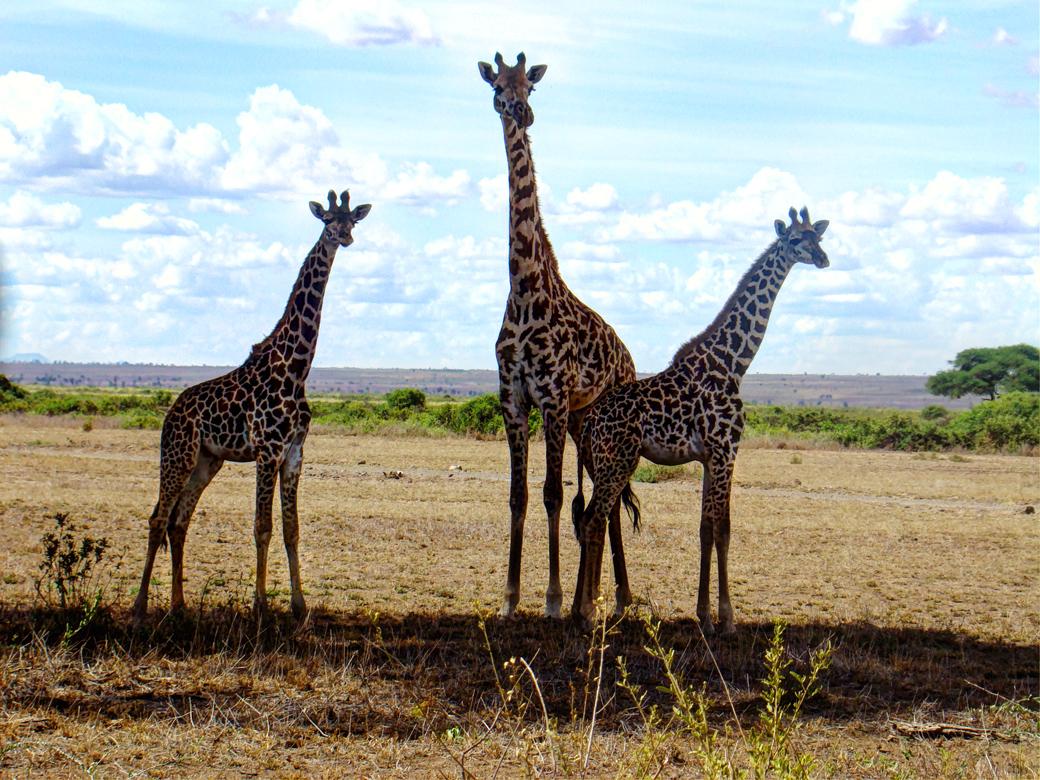 Amboseli National Park_giraffes