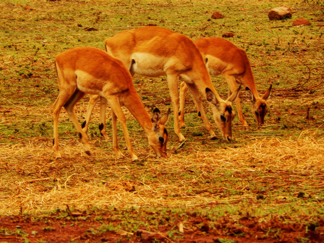 Nairobi Safari Walk_antelopes2