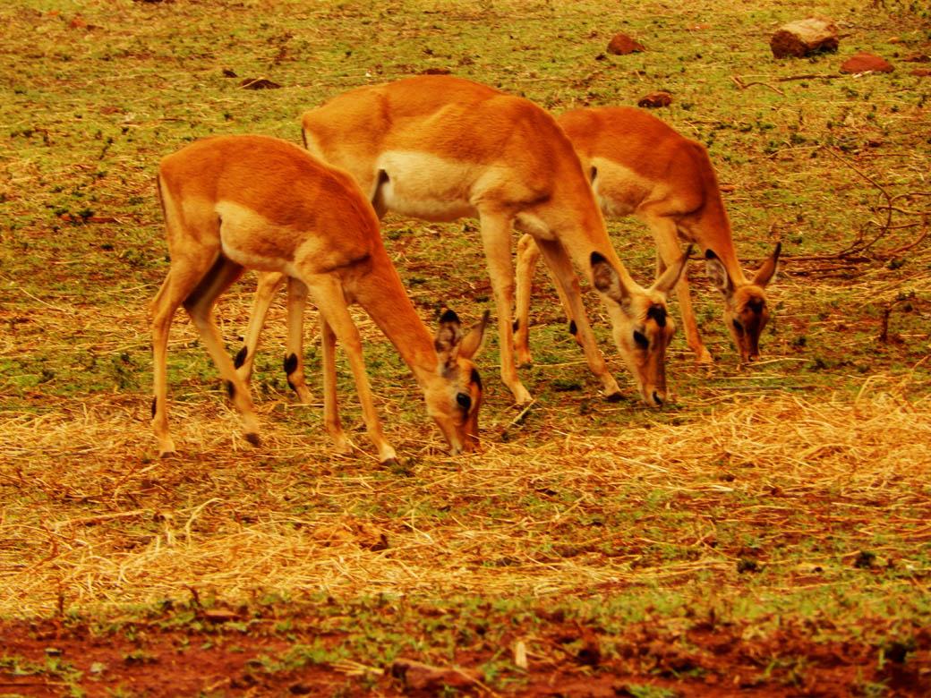 Nairobi Safari Walk_antelopes2