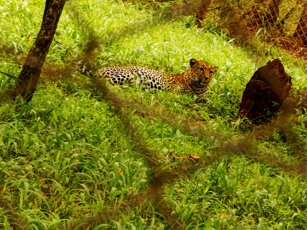 Nairobi Safari Walk_leopard