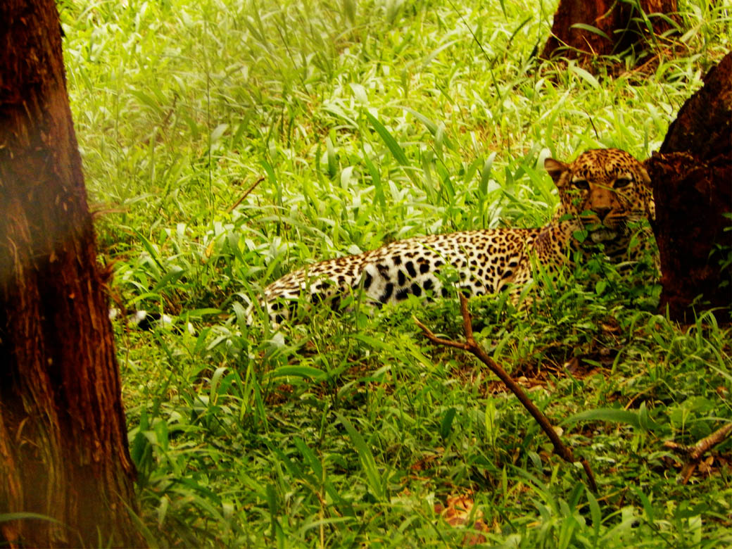 Nairobi Safari Walk_leopard2