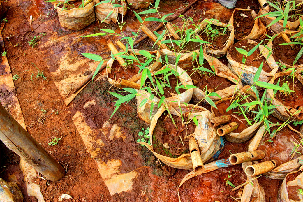 Save Mount Kenya _bamboo seedlings2
