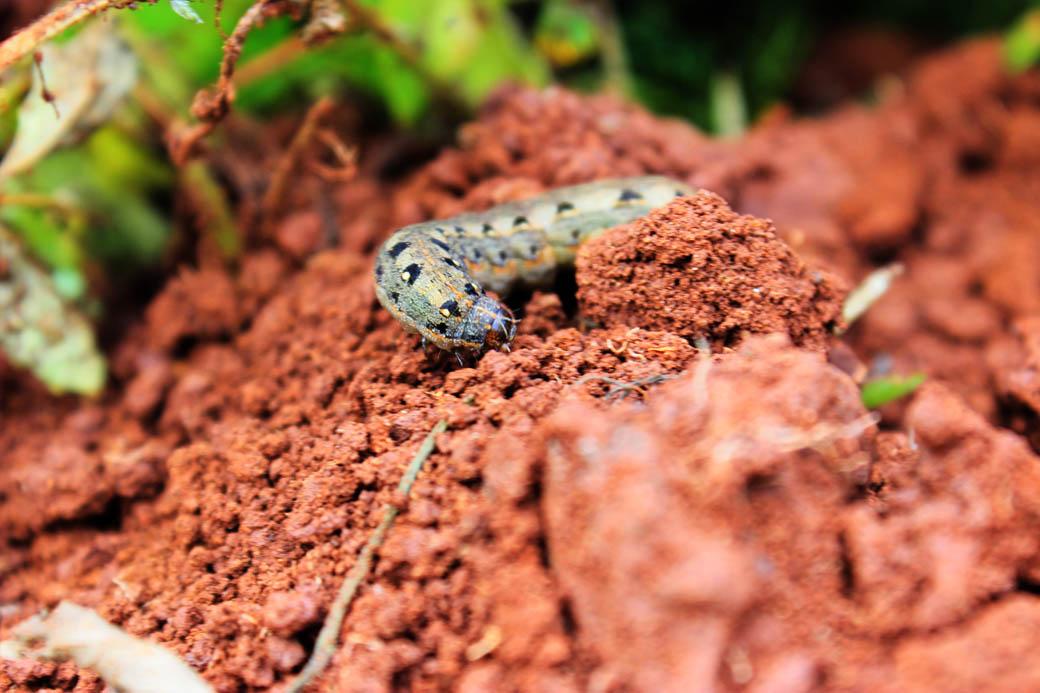 Save Mount Kenya _caterpilla