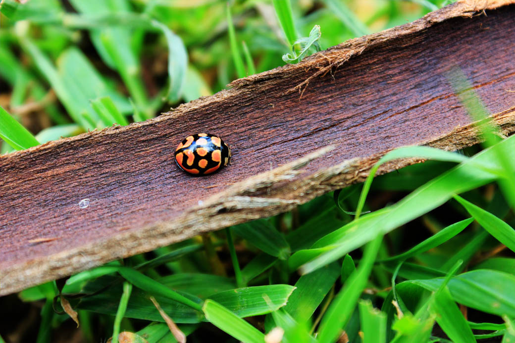 Save Mount Kenya _ladybird