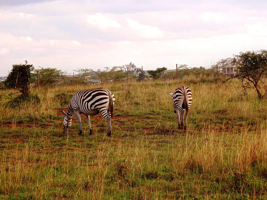 Masai Lodge_Zebra1