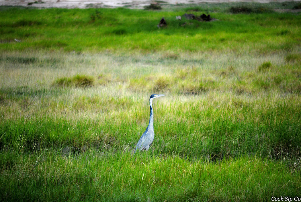 Birds of Amboseli National Park_Black headed heron