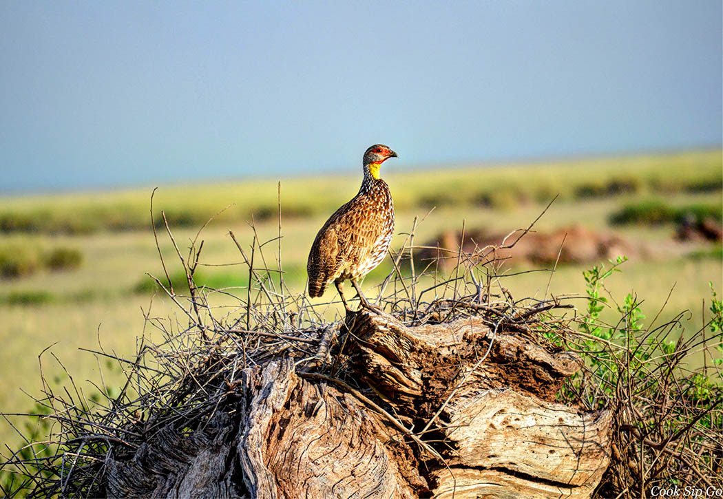 Birds of Amboseli National Park_Yellow necked Francolin