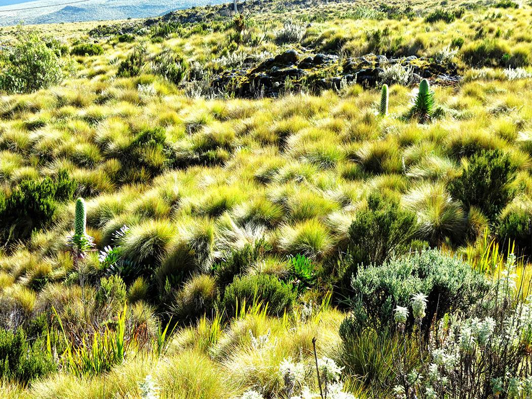 Mount Kenya_Flora 4